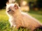 بچه گربه ایرانی
