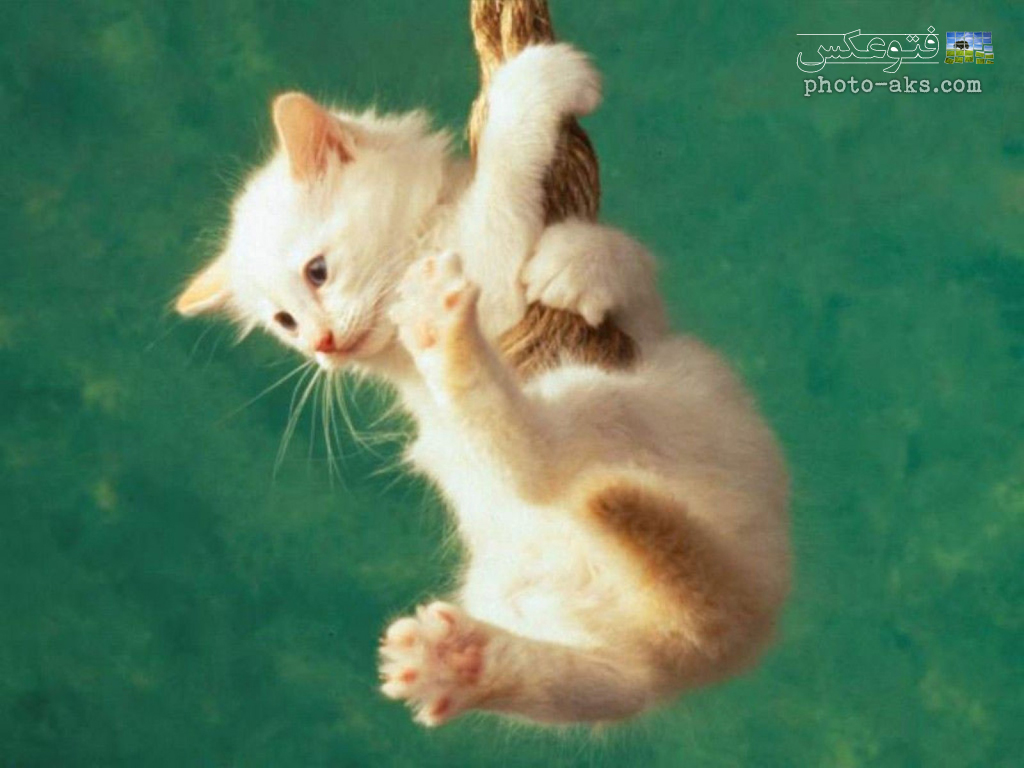 بازی چشم آبی شیطنت های بچه گربه ها funny white cate