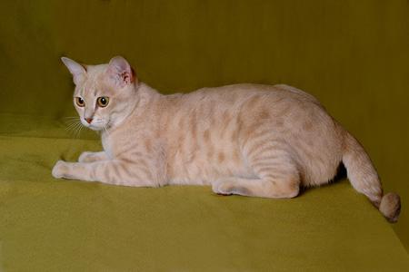 عکس گربه استرالیایی australian cat