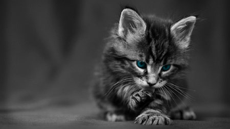 عکس زیبا بچه گربه سیاه سفید beautiful black cat