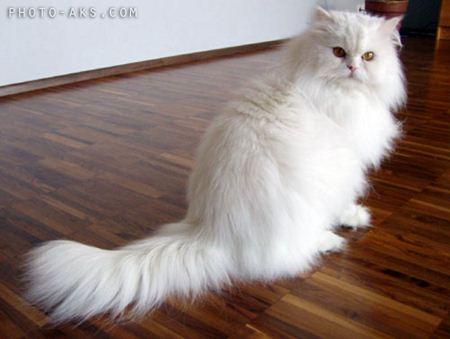 گربه ایرانی سفید persian cat white