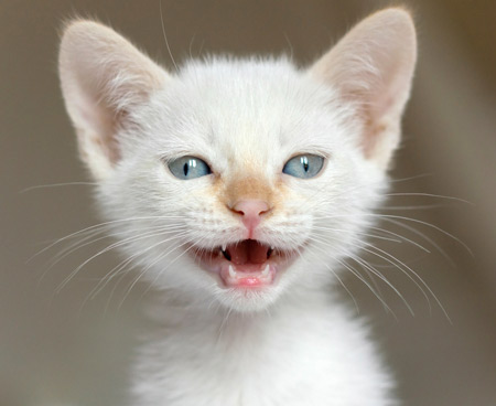 عکس بچه گربه سفید white kitten baby