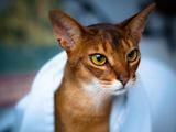 عکس گربه نژاد حبشی