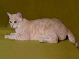 عکس گربه استرالیایی