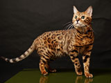 عکس گربه بنگال