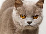عکس گربه عصبانی