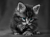عکس زیبا بچه گربه سیاه سفید