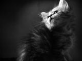 عکس سیاه و سفید بچه گربه