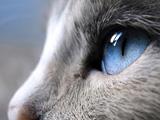 عکس زیبا نگاه گربه چشم آبی