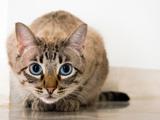 نگاه گربه چشم آبی در کمین