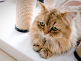 عکس گربه پشمالو مظلوم و بامزه