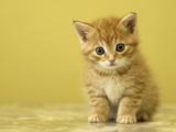 بچه گربه بامزه