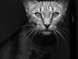 عکس سیاه و سفید گربه