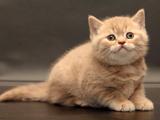 عکس گربه انگلیسی پشمالو