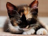عکس نگاه بچه گربه خال خالی