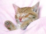 عکس بچه گربه در خواب ناز زیر پتو