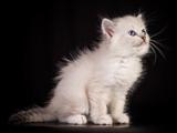 بچه گربه سفید پشمالو بامزه