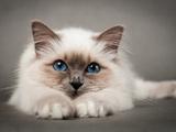 عکس گربه نژاد بیرمن