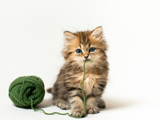 عکس گربه چشم آبی و پشم آلو