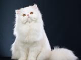 گربه ایرانی سفید پشمالو
