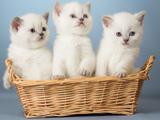 عکس بچه گربه های سفید