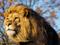 شیر نر سلطان جنگل