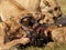 عکس شیر ها در حال خوردن بوفالو