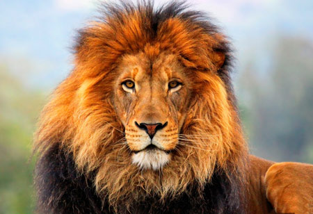 عکس زیبا از شیر نر بزگ lion hd wallpaper