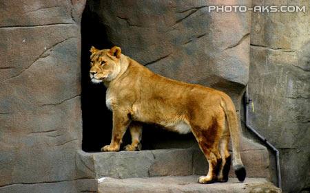 پوستر شیر ماده در باغ وحش lion in zoo wallpaper