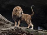 عکس نعره شیر سلطان جنگل