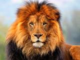 عکس زیبا از شیر نر بزگ