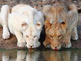 دو شیر ماده در حال خوردن آب