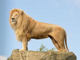 عکس شیر پیر سلطان جنگل