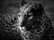 والپیپر پلنگ سیاه و سفید