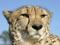 نمای نزدیک یوزپلنگ چیتا