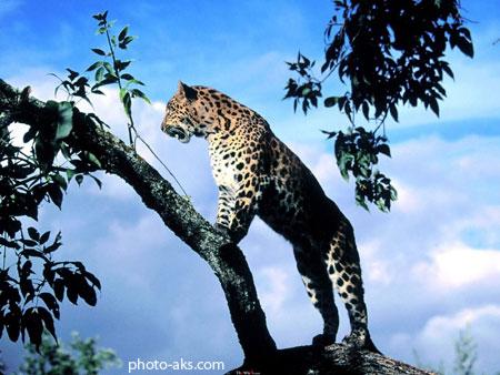 گربه وحشی روی درخت leopard on tree