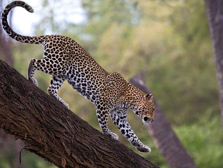 عکس پلنگ آفریقایی african leopard