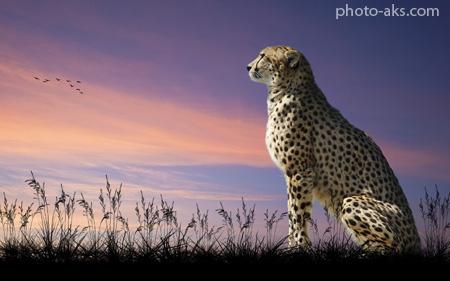 پوستر حیوانات درنده افریقایی cheetah wallpaper