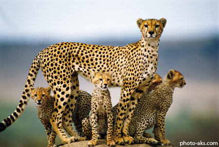 چیتا cheetah family