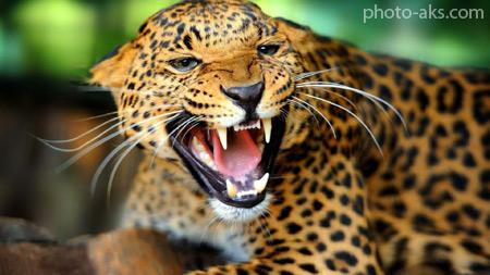 نعره پلنگ گربه وحشی leopard hd wallpaper