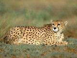 عکس جدید یوزپلنگ ایرانی