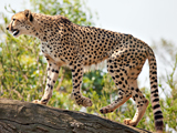 یوزپلنگ آسیایی