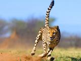یوزپلنگ در حال دویدن و شکار