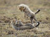 عکس بچه یوزپلنگ های ایرانی