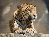 عکس جگوار گربه سان بزرگ