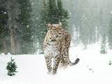 عکس جگوار برف زمستانی