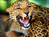 نعره پلنگ گربه وحشی