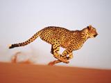 عکس یوزپلنگ در حال دویدن