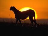 عکس یوزپلنگ در طلوع خورشید