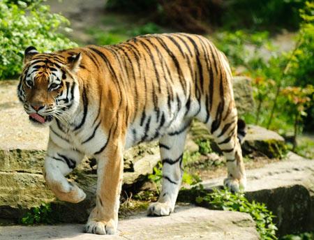 عکس ببر بزرگ و غول پیکر big tiger wallpaper